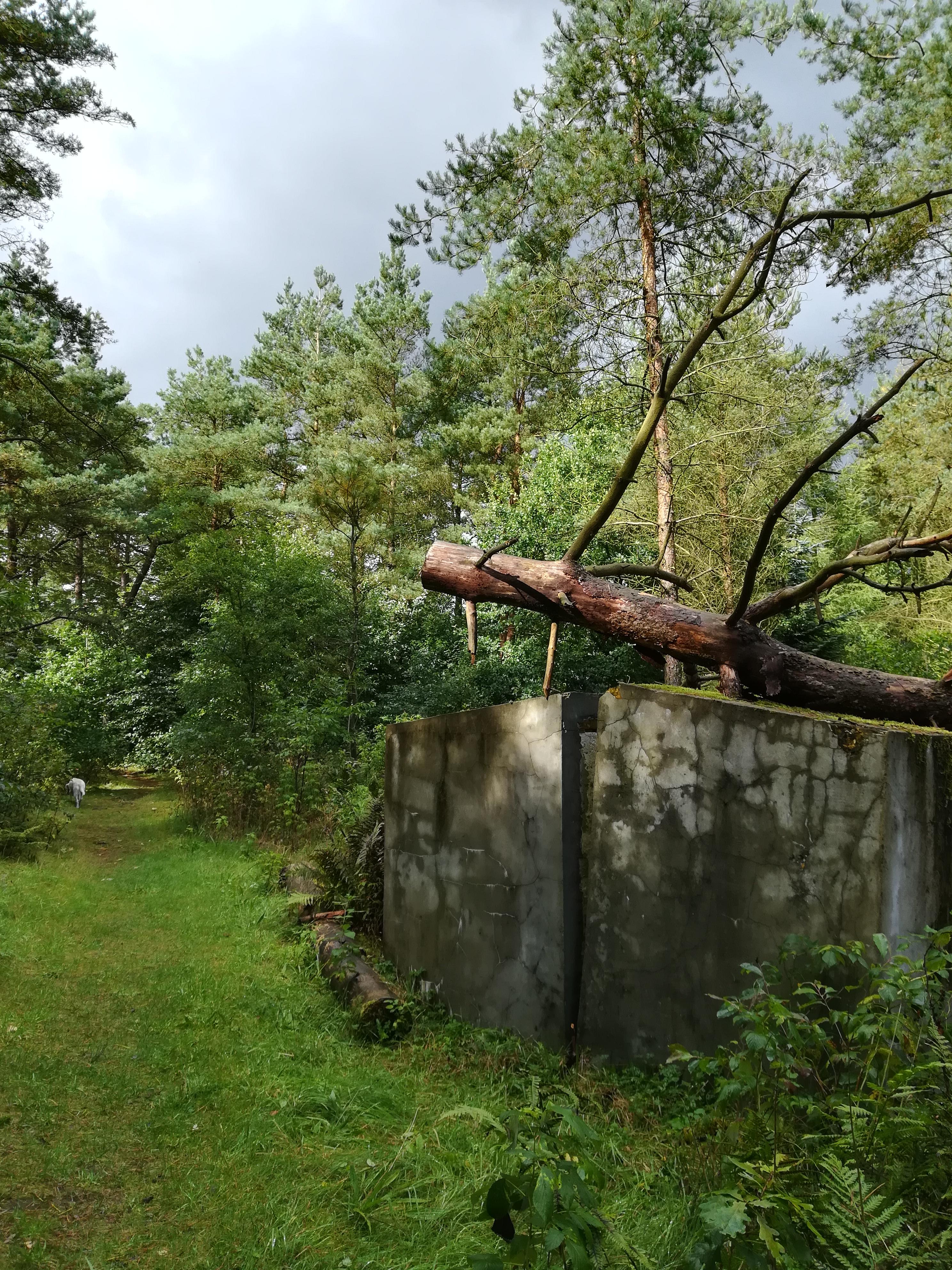 Skovsnogen, væltet træ