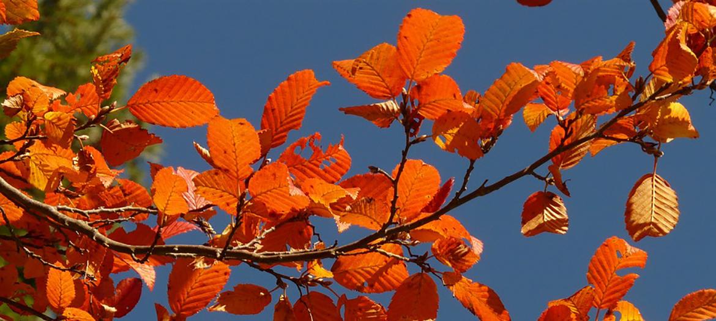 efterårsfarver, orange blade og blå himmel