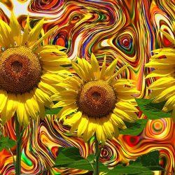solsikker og farver