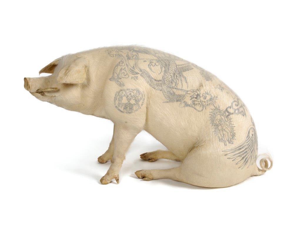 billede af tatoveret gris